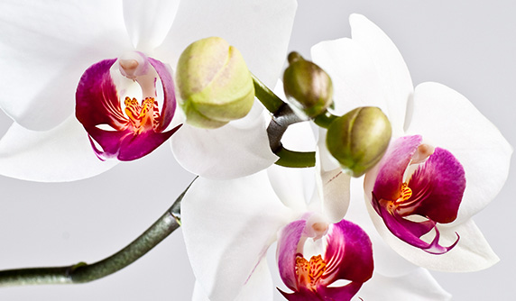 White and purple orchid in full bloom